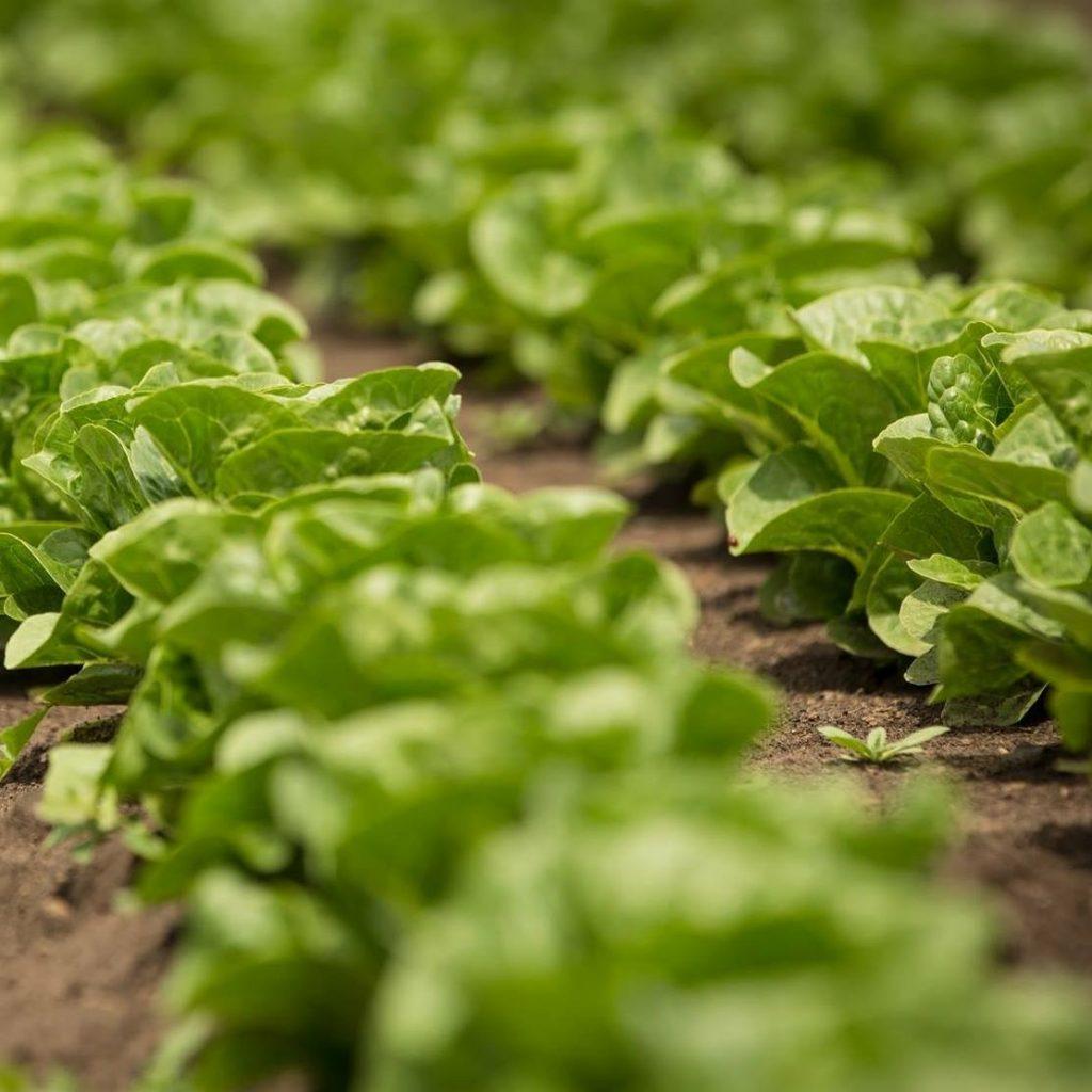 Houstons - Lettuce